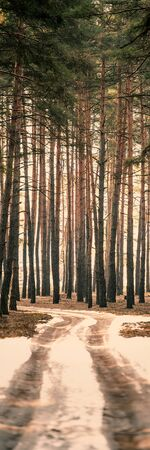 Morning in the Pine Winter Forest and the road. Vertical Web Banner.