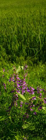 Purple Flowers of Mouse Peas on a Blurred Background, Wheat Field Close-up. Vertical Web Banner.