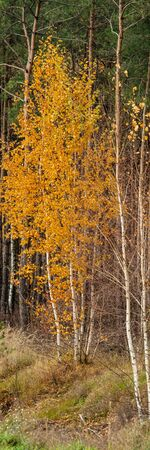 Young Birch Trees Covered with Yellow Autumn Foliage on a Background of Pine Forest. Vertical Web Banner. Stockfoto