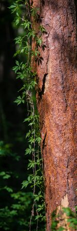Branches of Wild Grapes Curl on the Pine Tree Trunk in the Forest. Rural Landscape. Vertical Web Banner. Stockfoto