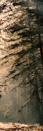 Sunny Misty Morning in the Pine Winter Forest. Vertical Web Banner.