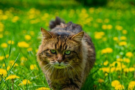 Forest cat walks through a meadow covered with green grass and flowering dandelions on a sunny day. Spring season in the countryside.