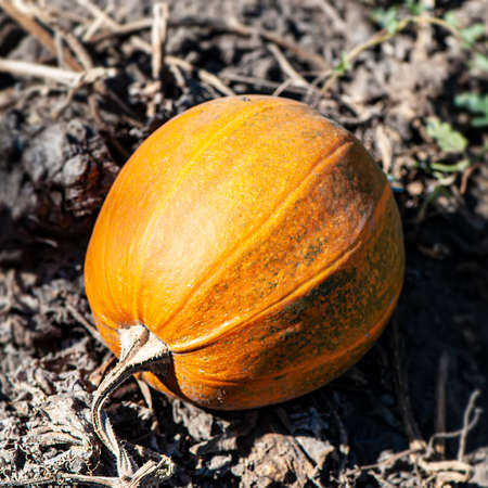 one pumpkin lies on a field outdoors on a sunny day. Autumn harvest. Archivio Fotografico