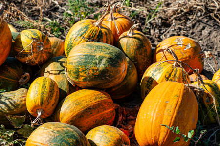 Pumpkins collected on the field outdoors on a sunny day. Autumn harvest. Archivio Fotografico