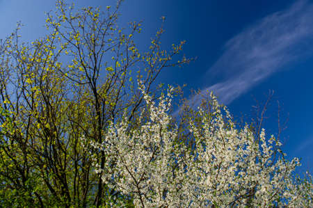 Tree Branches With Blossoming Leaves and Blooming White Flowers Against a Blue Sky. Spring Season. Web Banner. Фото со стока