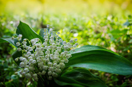Lily of the valley flowering plant in natural conditions in the shade of trees on a sunny day. Spring season, May. Web banner. Ukraine. Europe.