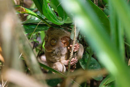 Tarsier sitting in the tree photo