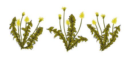 Vector illustration dandelions with leaves flower meadow. Summer flower natural season beautiful yellow dandelion. Dandelion vector icon blowing garden botany floral logo. Illustration