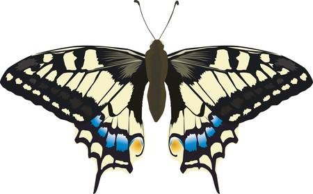 swallowtail: A swallowtail butterfly-raised swallowtail butterflies presented in all its glory