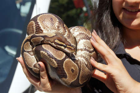 A python snake is curled up on the hand of a young woman  The reptile enjoys not only the sun but also the body heat  Reminiscent of Eve, who was seduced by the serpent  Banco de Imagens