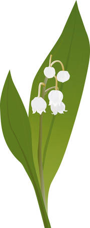 poisoning: A delicate lily of the valley plant illustrated in detail with their sch�nen flowers  Unfortunately, the leaves of the Maigl�ckchens are often mistaken for wild garlic from collectors, resulting in severe poisoning