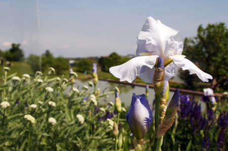 underlying: A blue - white iris towers above all other flowers and gives a view of a park freely. In underlying Park See the tender clouds and the high trees reflected.