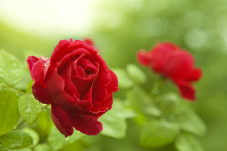 Fresh leaves and two roses. Natural red roses.
