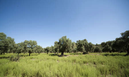 Olive trees or grove.