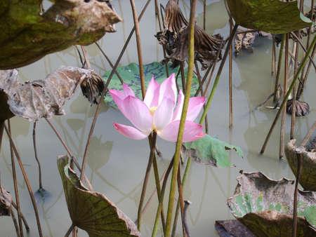 Lotus flower in Thailand Zdjęcie Seryjne