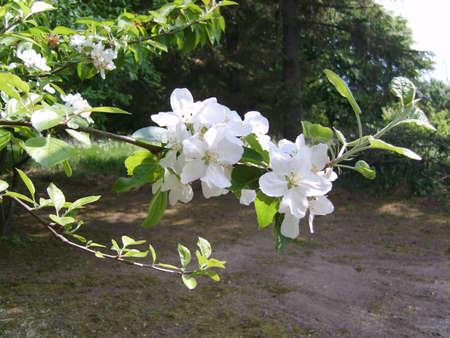 Apple bloeit in de zon