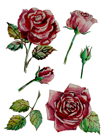 Watercolor Roses Set. Isolated flowers hand-painted  イラスト・ベクター素材