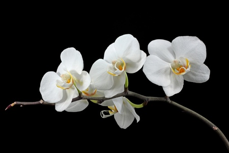 lowkey: white orchid Stock Photo