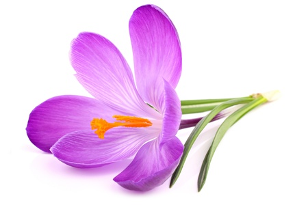 a crocus flowers on isolated white background Stock Photo