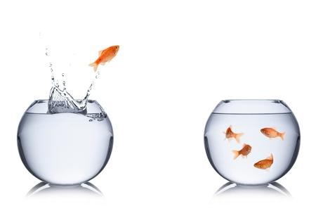 peces de colores: pez salta fuera del recipiente a otro. Foto de archivo