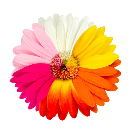 multicolored  gebera blossom photo