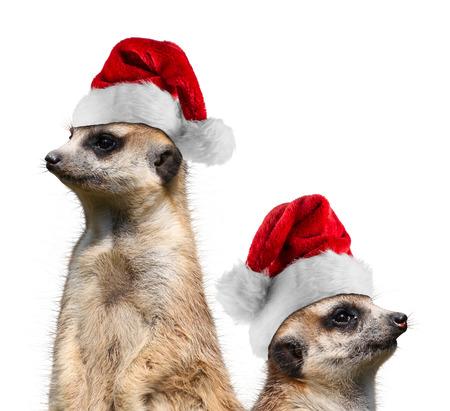 twee stokstaartjes met santa hoeden Stockfoto