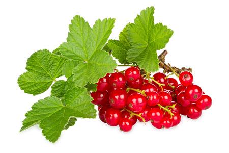 赤スグリと白い背景の前で葉します。