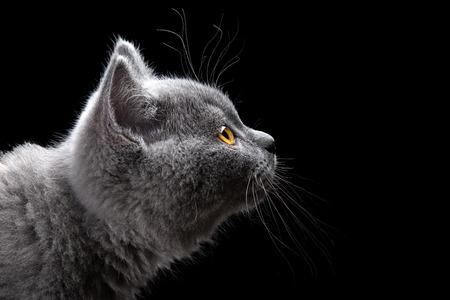 face side: portrait of british short hair kitten on black background