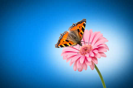 nymphalis: butterfly on pink flower on blue background