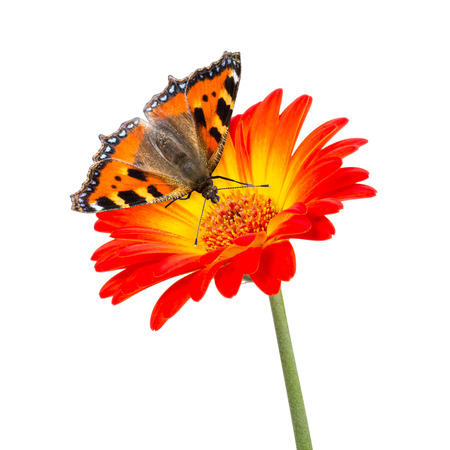 nymphalis: butterfly on orange flower isolated Stock Photo