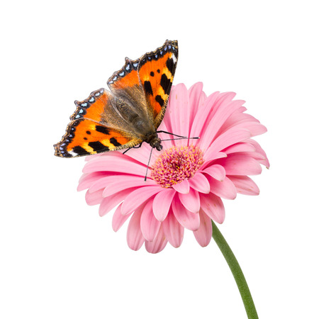 nymphalis: butterfly on pink flower isolated