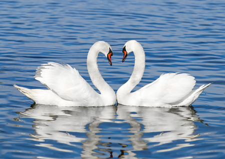 swimming swan: couple of white swans