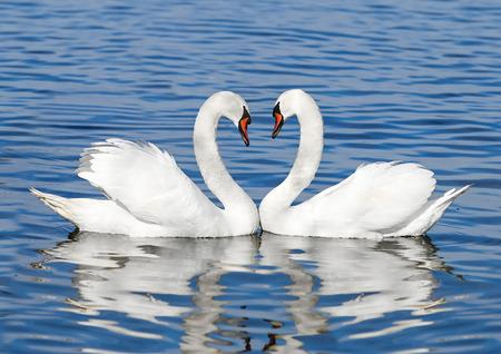 cisnes: pareja de cisnes blancos Foto de archivo
