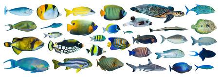 gatillo: colección de peces tropicales en el fondo blanco