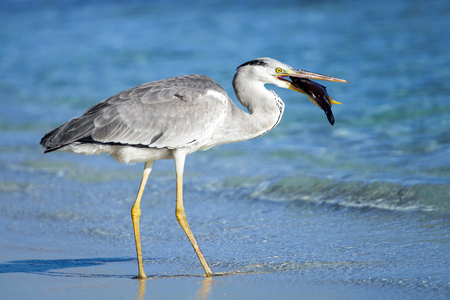 great blue heron: heron bird with fish in mouth on the beach