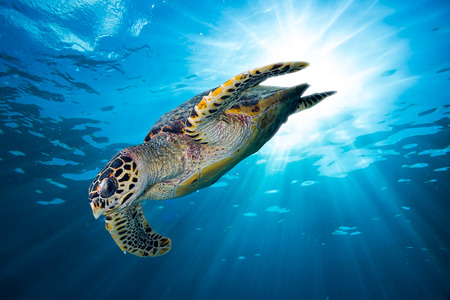 marine environment: hawksbill sea turtle dive down into the deep blue ocean against the sunlight Stock Photo