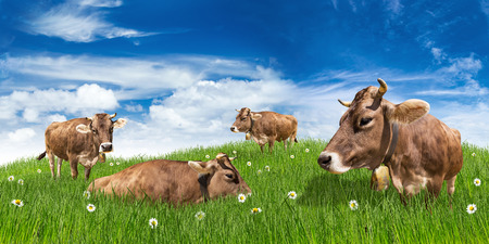 group of cows on green meadow in front of blue sky
