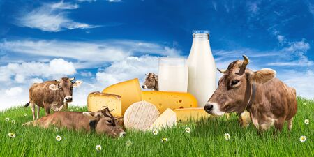 grazing: group of cows on green meadow with milk bottle glass and cheese  in front of blue sky