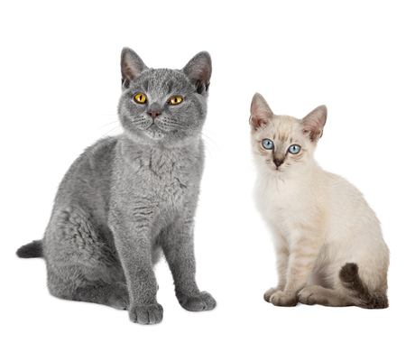 two cute  kitten cats blue british short hair and thai siam sitting together isolated on white background