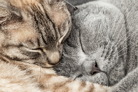 closeup of two sleeping cuddling cats together thai siam and british shorthair pet couple Stock Photo - 74088497