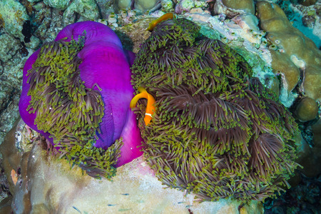 ocellaris: maldive anemoine fish on purple coral