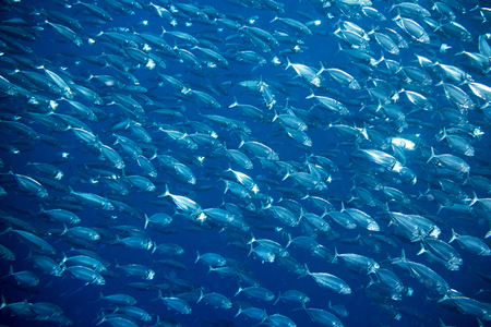 big school of mackerel fish underwater background