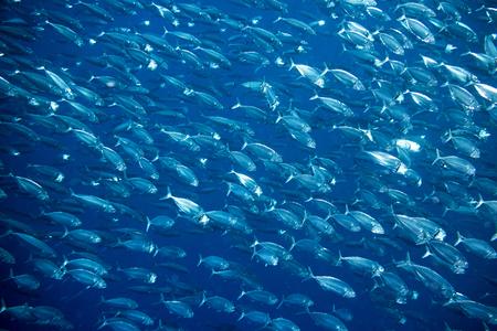 Grote school van makreel vis onderwater achtergrond Stockfoto