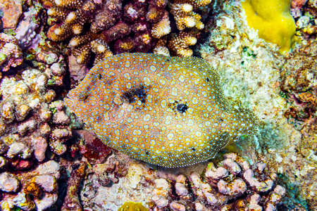 colorful panther leopard flatfish bothus pantherinus in coral reef. flat fish underwater shot in top view