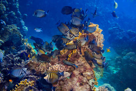 colony of Zebrasoma desjardinii or the indian sailfin doctor fish in colorful underwater coral reef. marine animal wildlife ocean sea background Standard-Bild