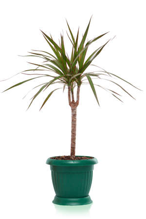house plant dracaena palm in flower pot, isolated Stock Photo