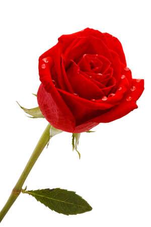 Beautiful red rose close-up photo