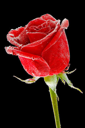 single object: beautiful red rose with dew drops on a black background Stock Photo