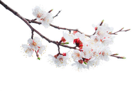 apricot-tree flowers isolated on white background Stock Photo