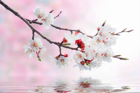 white spring flowers on a tree branch over pink bokeh background on water waves Standard-Bild